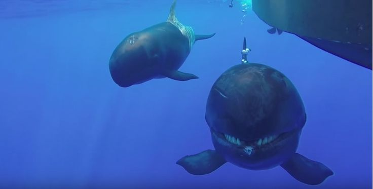 "Endangered false killer whales swim up to tour boat off Oahu and ham it up before a submerged camera. They ""tried to eat my GoPro."""