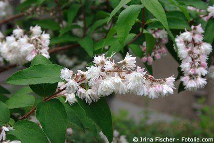 Deutzie Maiblumenstrauch Deutzia, sonniger Standort, aufrecht wachsend