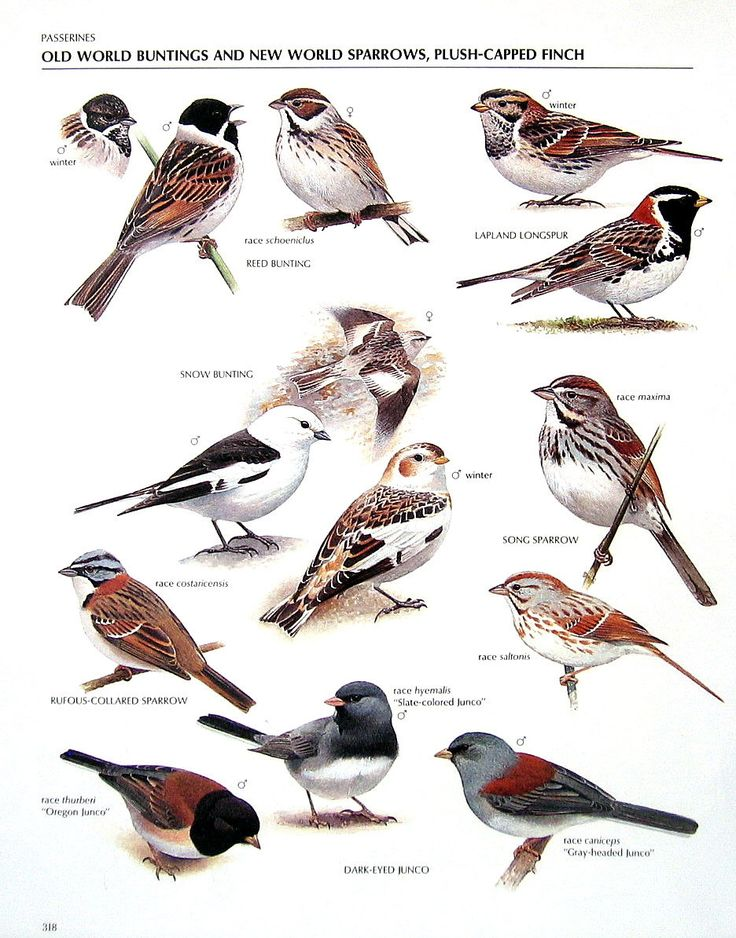 Vintage Bird Print Reed Bunting Lapland Longspur Song