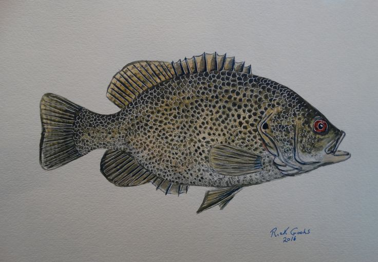 207 best images about fish paintings on pinterest for Rock bass fish