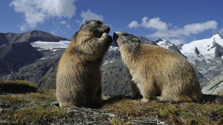 """Murmeltiere sind äußerst gesellig und leben das ganze Jahr über im Familienverband. Während des Bergsommers tollen sie gemeinsam über blühende Almwiesen, in den Wintermonaten halten die Alpenbewohner einen so genannten """"sozialen"""" Winterschlaf: Eng aneinandergeschmiegt ruhen Eltern und Jungtiere - bis zu zwanzig Individuen in einem Bau. Wenn draußen Minustemperaturen herrschen, wärmen sie sich gegenseitig. Bis zu neun Monate kann der Murmeltier-Winterschlaf dauern. Durch die geteilte…"""