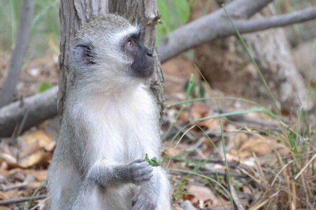 Monkey in Mabula Lodge Private Game Reserve
