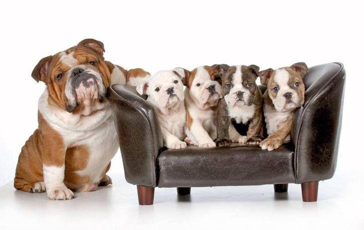 The Bulldog family portrait