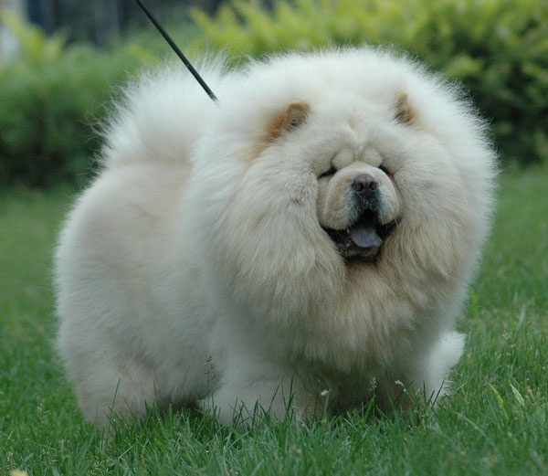 Фото собаки чау чау и краткая история породы