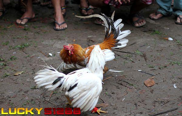 Agen Judi Online Terbesar Penyedia Sabung Ayam | Daftar S128