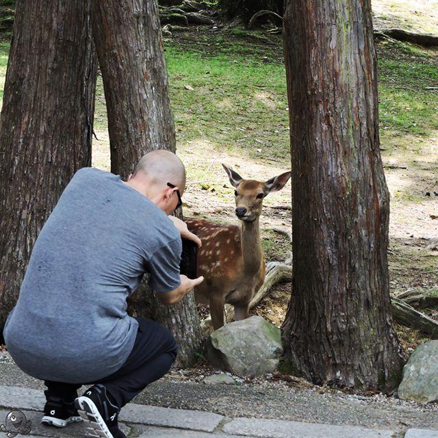 Cierpliwie pozuję czekając na posiłek.  Patiently sitting for you, please feed me afterward.    #japan #deer #nara #nihon #japonia #japon #travel