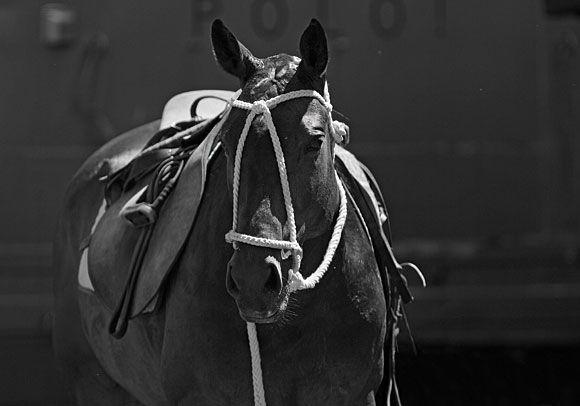 Polo ist ein Spiel für Techniker, Taktiker und Kämpfer. Wer den Spielverlauf nicht intuitiv erahnt und kein Auge für besser stehende Teamkollegen hat, wird es nicht einmal zum durchschnittlichen Spieler bringen. Schnell, wendig und nervenstark – die Attribute eines guten Polopferdes. Die Zucht dieser Pferde avancierte zu einer eigenen Art von Wissenschaft.