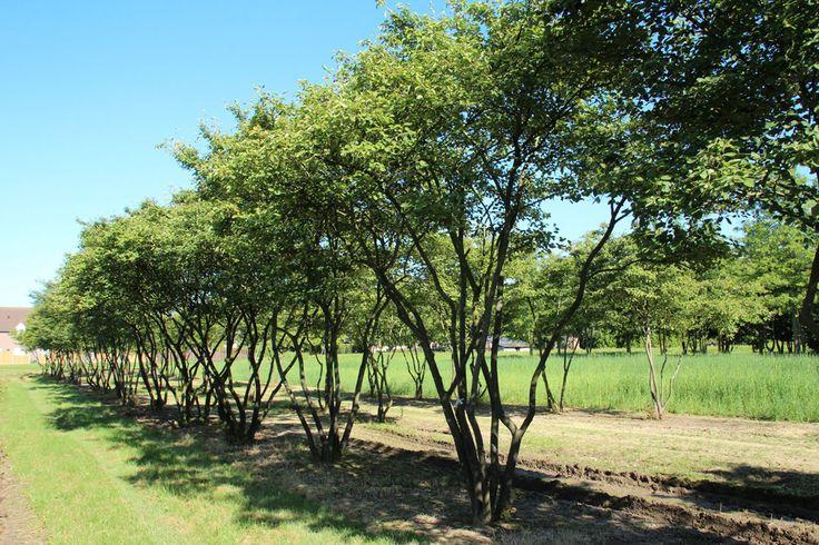Amelanchier lamarckii (meerstammig), Krenteboompje, sterke plant, bossige groeiwijze, in voorjaar heeft blad koperrode tint, prachtige herfstkleur