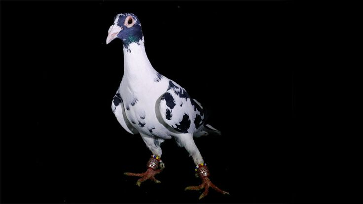 Photographs from inside a Turkish pigeon auction in Sanliurfa.