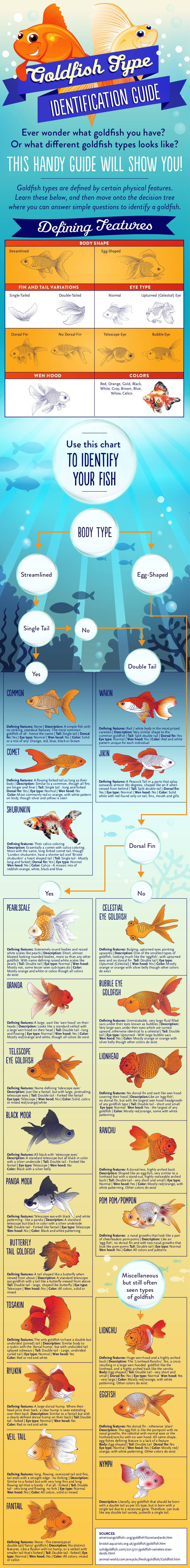 Type of Goldfish infographic charting all common goldfish types and how to identify them