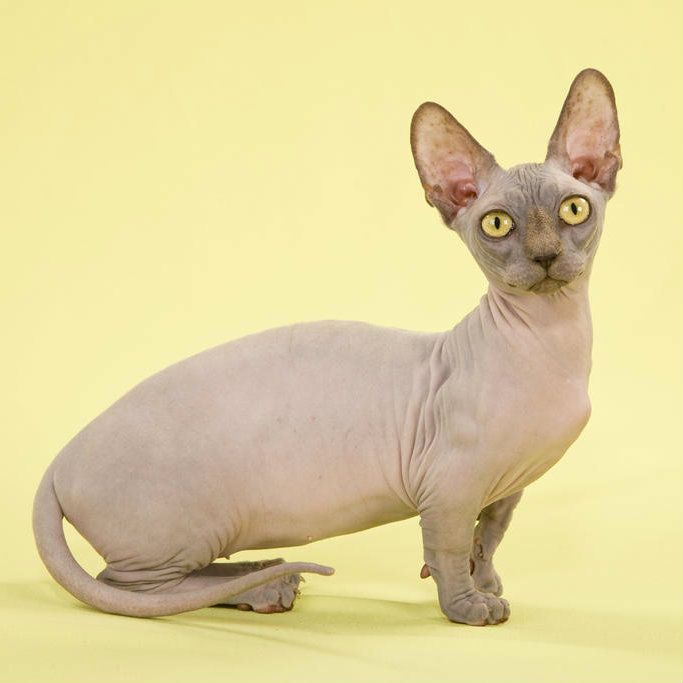 Hairless Cat Rescue In Pa