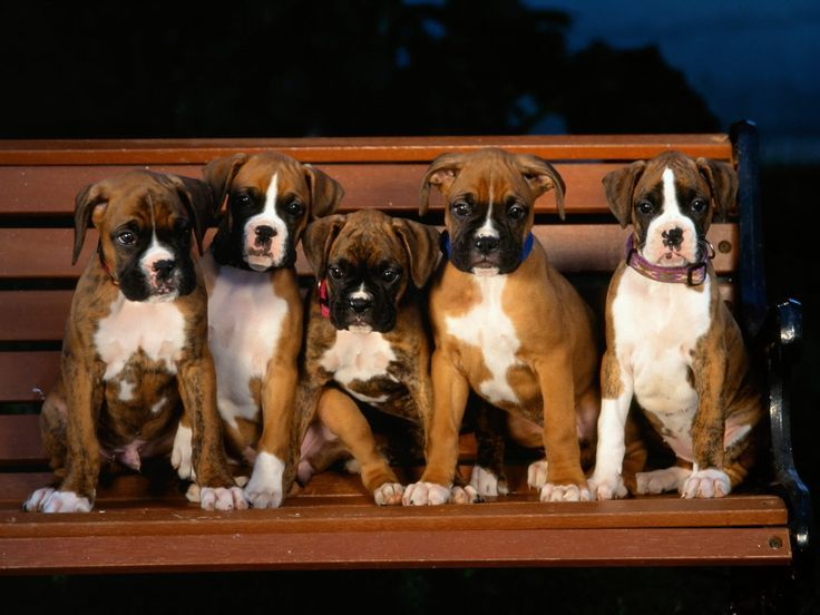 I Love Boxers (With images) Boxer puppies, Boxer and