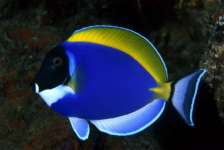 Hermoso pez azul
