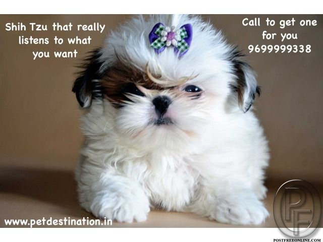 Shih Tzu That Really Listens To What You Want Call To Get One