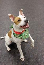 Hilti: Pit Bull Terrier, Dog; Methuen, MA