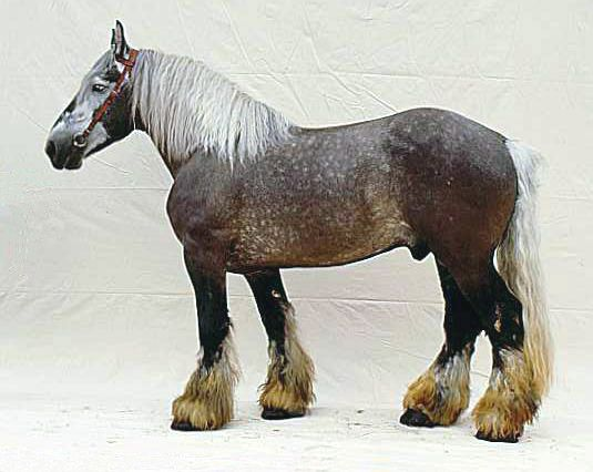 The Forgotten Drafts - Poitevin - mostly used to cross with the Ass de Poitou to create mules, nearly extinct
