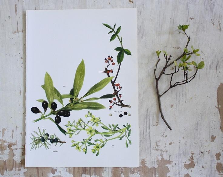 Vintage flora book plates.: Inspiration, Vintage Prints, Botanical Drawings, Drawing Botanicals, Vintage Flora, Botanical Art, Flora Book
