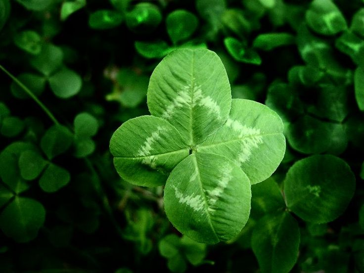 Four-Leaf-Clover. The rarity of the four leaf clover has meant it is highly valued.  Another reason for the leaf's power lies with the Druids of long ago. They used the clover in spells, believing that the four leaves represented the four elements of alchemy - earth, water, fire and air - and also the four seasons.