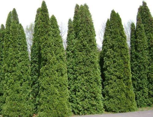 1000 American Arborvitae Tree Seeds, Thuja Occidentalis