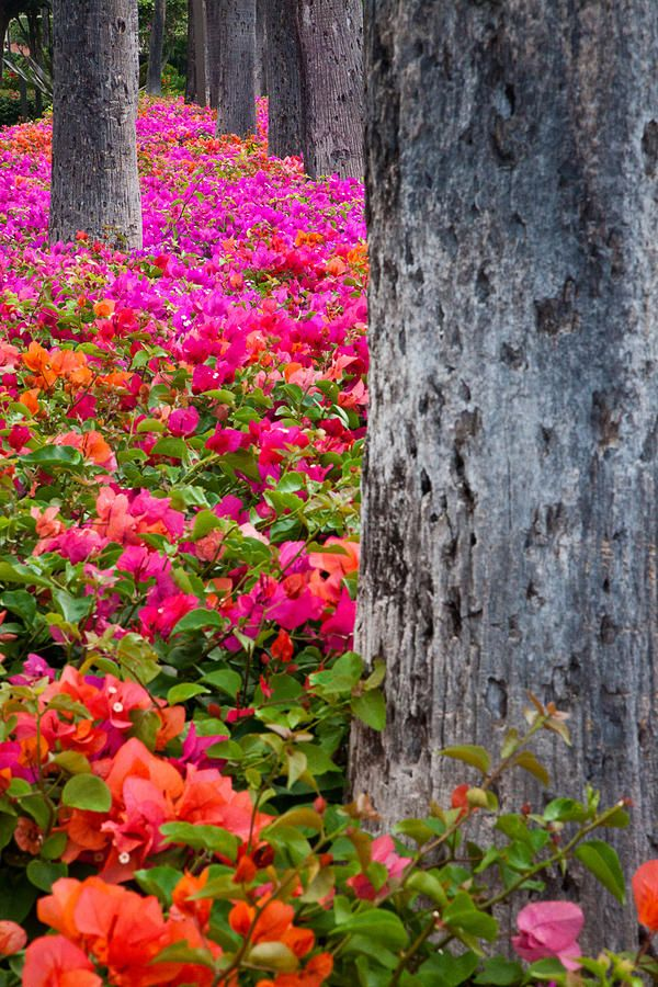 ✮ Hawaii, Maui - Colorful Bougainvillea on park grounds in MauiColors Flower, Orange Flower, Hawaii Travel, Wedding Colors, Flower Gardens, Amazing Nature, Hawaiian Islands, Maui Hawaii, Bougainvillea Forests
