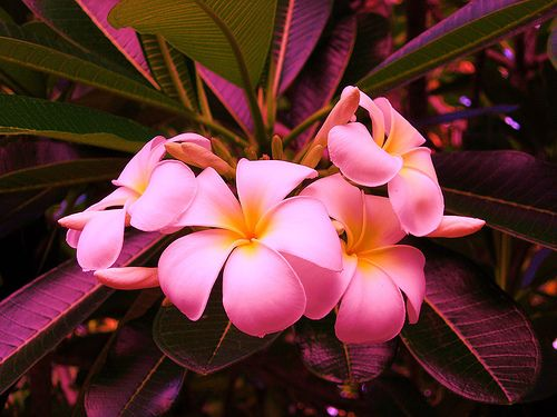 best the fiji flowers images on, Natural flower