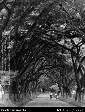 Biblioteca Departamental Jorge Garces Borrero y INGENIO MANUELITA. Samanes en la entrada a la antigua sede del Ingenio Manuelita S y 300083. PALMIRA: Biblioteca Departamental Jorge Garces Borrero, 1964. 25X17.