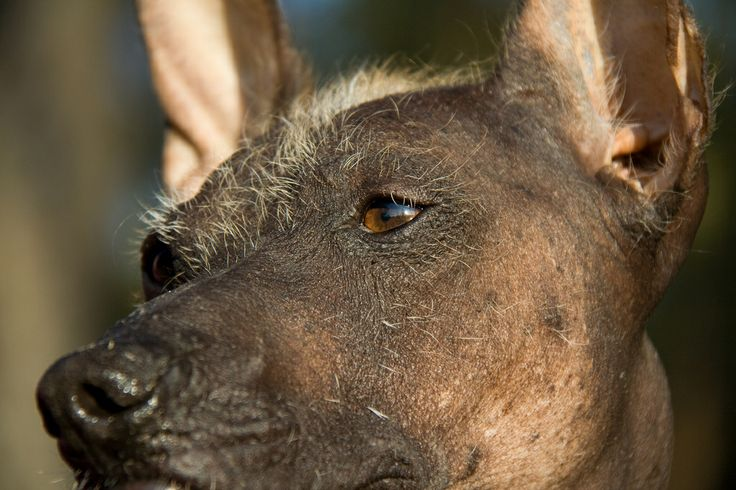Luna - Peruvian Hairless Dog. Nice close-up with my portret lens. At the sand dunes of Soesterduinen, The Netherlands.