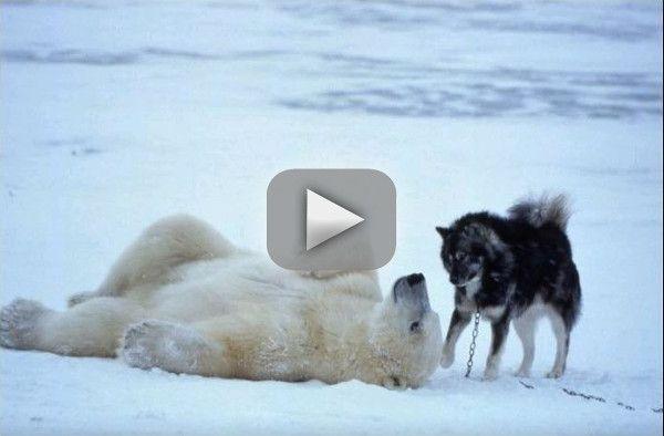 Osos polares jugando con perros - Vídeo.
