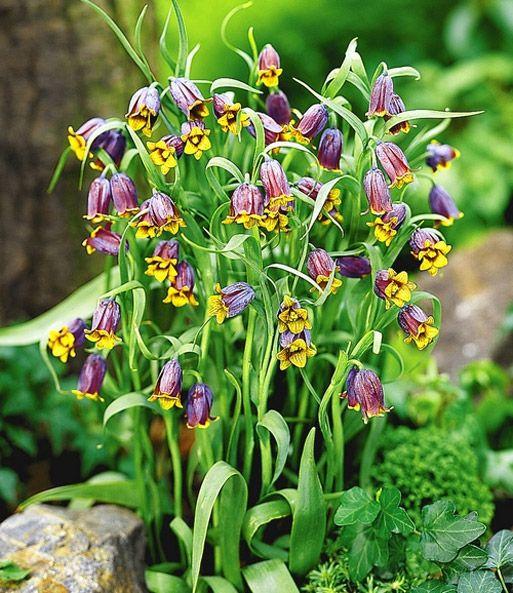 Fritillaria Fox S Grape Kaiserkrone Fritillaria Bei Baldur Garten Scent Garden Beautiful Flowers Garden Most Beautiful Gardens