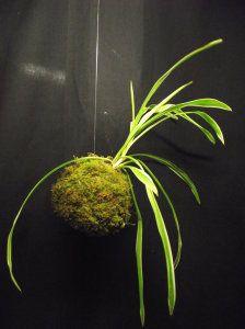 Plantes sans terre tillandsia d coration florale - Terre pour aloe vera ...