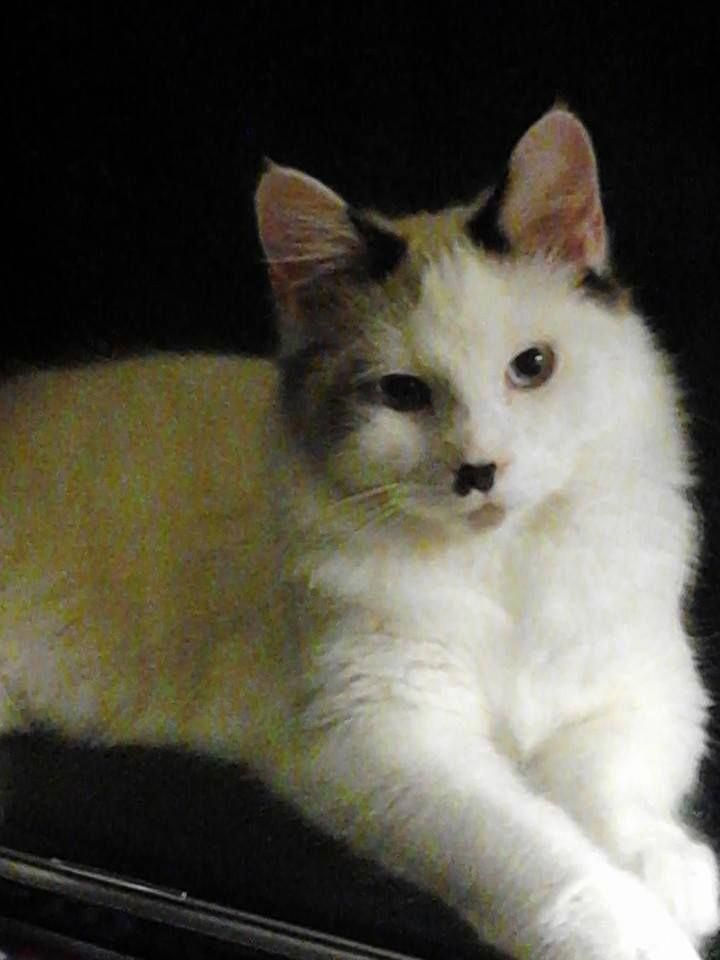 Siamese Angora Mix Eli Cats Fully Feline Angoracats Angora Cats