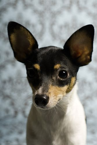 Toy Fox Terriers enjoy attention and do greatest with folks who can spend a important level of time with them daily.
