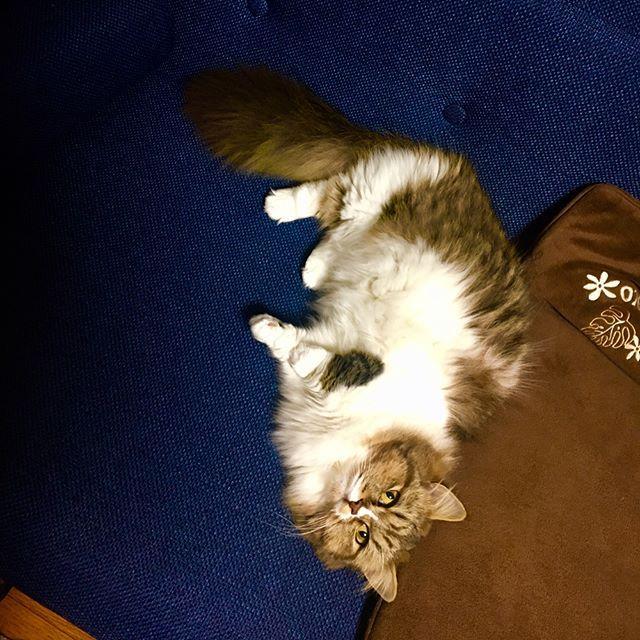 私が座るところ、、、 占領されとる、、、(;ω;) #猫 #短足猫 #愛猫 #ミヌエット #ナポレオン #マンチカン #ペルシャ #にゃんすたぐらむ #にゃんだふるらいふ #ねこのいる生活  #リアル #椅子取りゲーム #座る所ない #かわいいから許す #すっかり #ソファー #お気に入り