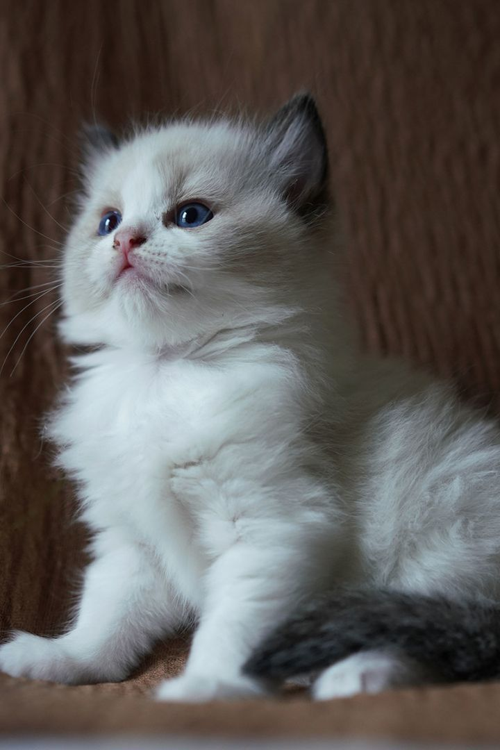Top 25 Awesome Ragdoll Cat Names Ideas Awesome Cat Ideas Names Ragdoll Top In 2020 Pretty Cats Baby Cats Kittens Cutest