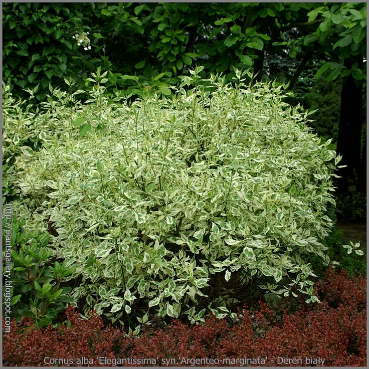 Cornus alba (red-twig dogwood) is a four-season plant.  Awesome verigated leaves in the spring and summer, reg-branches in the fall and winter.