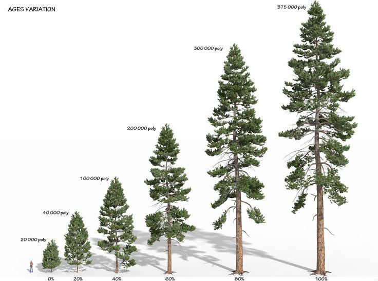 Ponderosa pine pinus ponderosa western yellow pine for Ponderosa pine tattoo