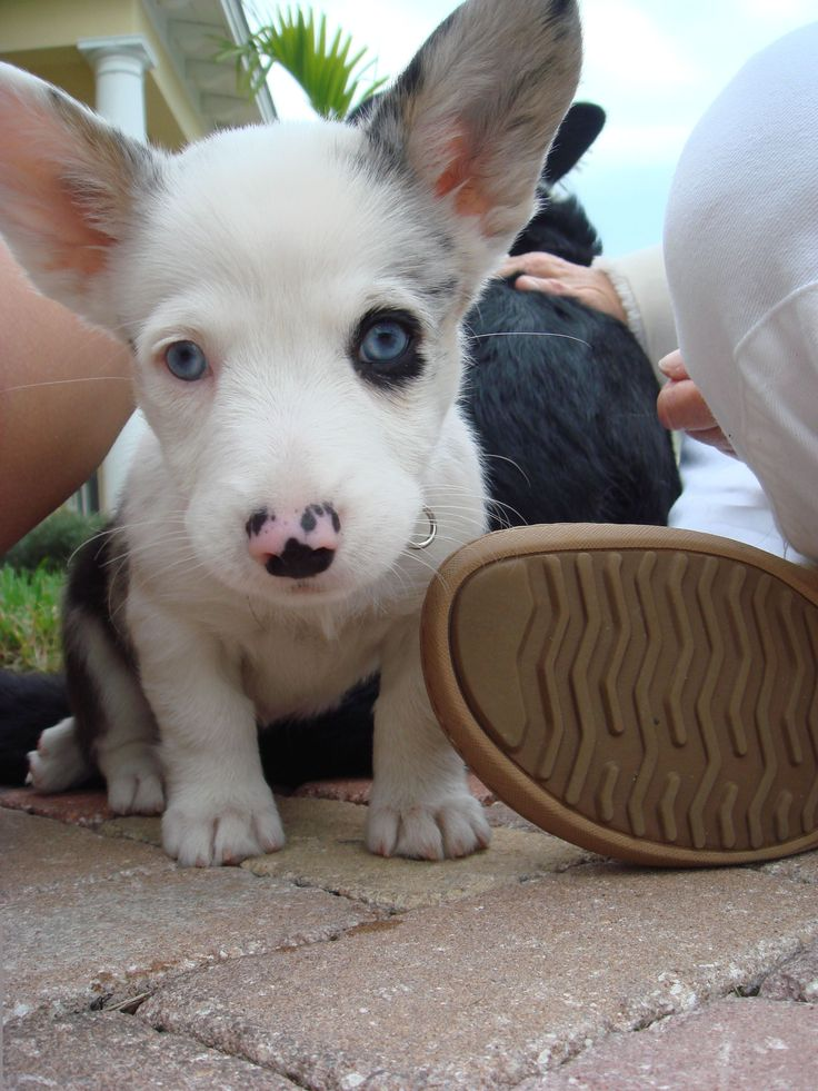 Blue Merle Corgi Pup. so sweet. i want one.