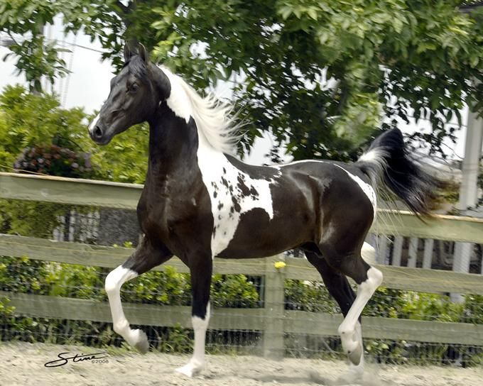 Legacy-Picasso-Homozygous Pinto & Black National Show Horse Stallion- from an Arabian and American Saddlebred cross. How gorgeous!!  #horses