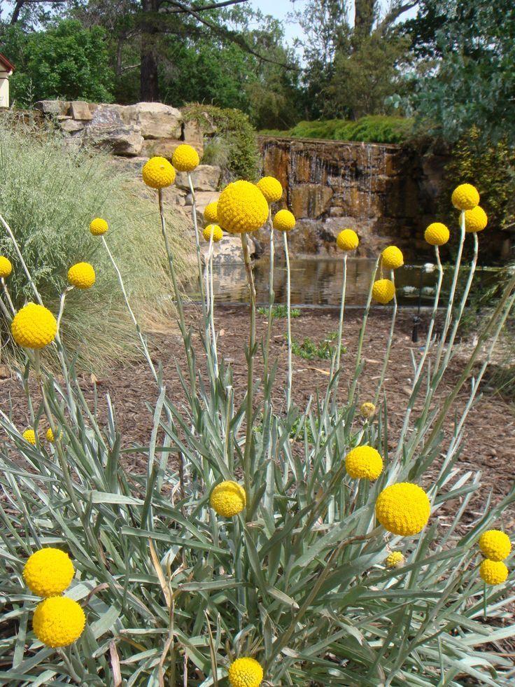 Eine Meiner Lieblingswiesenpflanzen Craspedia Auch Bekannt Als Billy Buttons Als Auch Australian Bek In 2020 Backyard Plants Plants Australian Native Garden