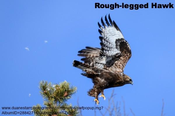 Rough-legged Hawk Dark Morph