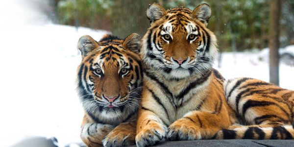 Wild tigers could soon be slaughtered to extinction by poachers – fewer than 4,000 are left in the wild. Tell Congress to reauthorize the MSCF. (7267 signatures on petition)