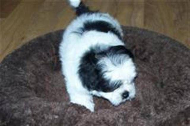 Shih Tzu X Bichon Puppies For Sale Adoption From Armstrong British
