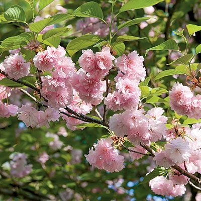 Kwanzan Japanese flowering cherry tree (P. serrulata 'Kwanzan'), has the most beautiful spring tree flower with the huge, ruffled pom-pom blooms.