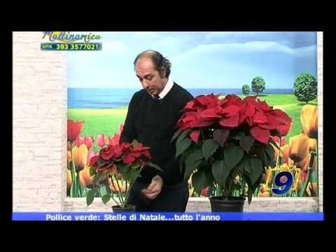 Stelle di Natale...tutto l'anno | POLLICE VERDE | Nicola Falcetta - YouTube