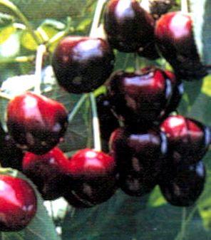 Kristin Cherry Trees | Burnt Ridge Nursery & Orchards-Burnt Ridge Nursery