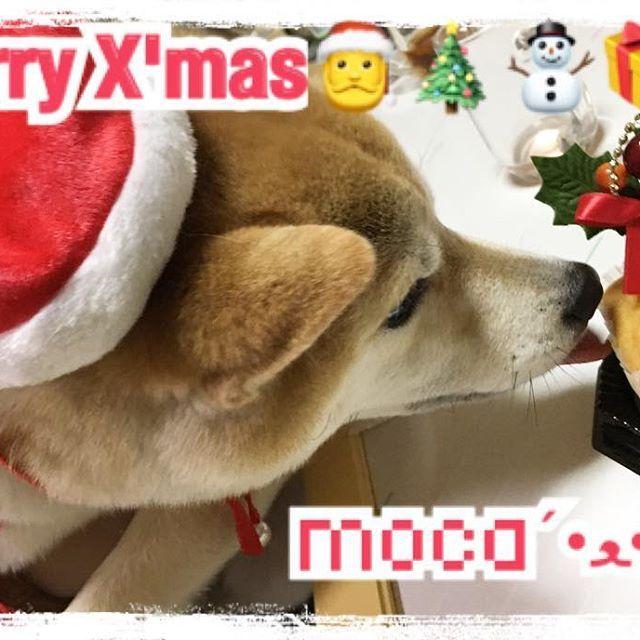・ ・ わが家のクリスマスは お母さんが誕生日なので お家でお祝いしたよー🎂💕 ・ 4℃のお財布をプレゼント👛💎 てか、4℃にお財布とかカバンあるの 通りすがりに知った❣️ 質もいいし、デザインもかわいいし 喜んでくれてよかった😊♡ ・ ・ モカちゃんも一緒にクリスマス🐕🎄 ・ サンタの服と帽子を嫌々装着してくれました🎅❤笑 ・ わんちゃん用のカップケーキを 待ちきれずぺろぺろしてるpic🍰❤ かわいすぎるーーー´•ﻌ•`🐾 ・ 今外耳炎になって かなりつらそうだから お薬とか治療がんばろうね😭😭😭 ・ ・ みなさんは 素敵なクリスマス過ごしました?👸🏼 ・ ・ #クリスマス #わが家は毎年 #お母さんの誕生日 #お祝いだよ #モカちゃん #愛犬 #愛犬家 #豆柴 #女の子 #溺愛 #癒し #わんちゃんケーキ#モカサンタ #🎅 #🎄 #⛄ #🎁 #🐕