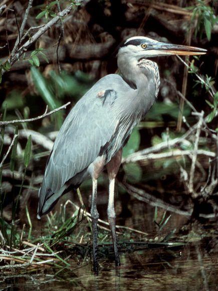 Great Blue Heron (Ardea herodias) 1/2/2012, Noxubee Wildlife Refuge, MS  (not actual photo)