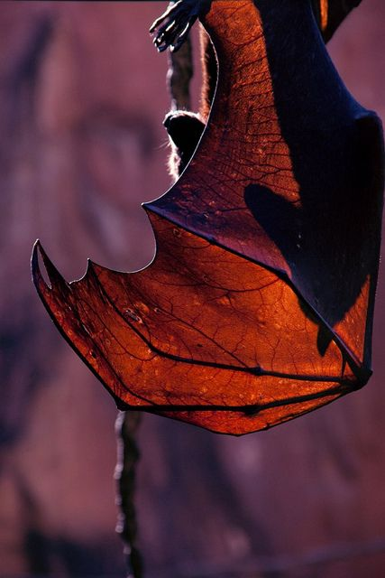 Hang in there, buddy (Animal Kingdom - Malayan Flying Fox bat) by ohhector