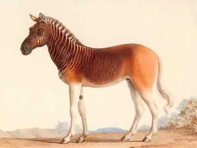 Quagga: Half Zebra, Half horse (extinct since 1883)