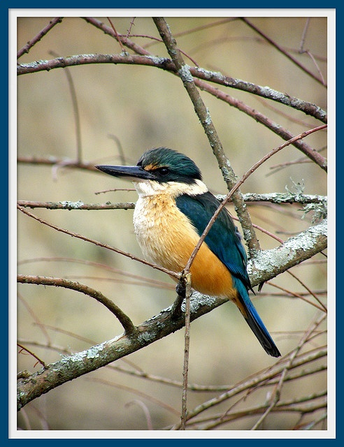 New Zealand Kingfisher